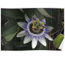 Delicate and Beautiful Passiflora Flower Poster