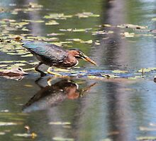 Green Heron Reflections by hummingbirds