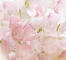 Lathyrus Dream in Pink Sticker