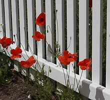 Picket Fence and Poppies by AnnDixon