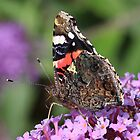 Red Admiral butterfly at rest by Rivendell7