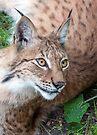 Lynx by Eivor Kuchta