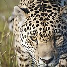 Prowling jaguar by Anna Phillips