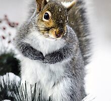 Squirrel in Snow by Christina Rollo
