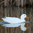 Duck Reflections by Vanessa  Warren