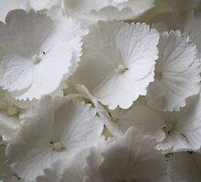white hydrangea by spetenfia