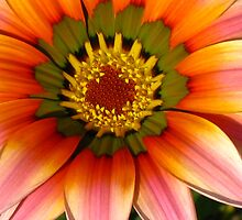Gazania by Marilyn Harris
