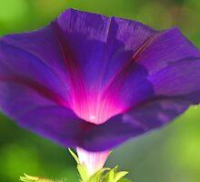 Morning Glory.............. by lynn carter