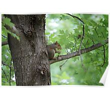 squirrel on the tree Poster