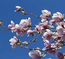 blooming magnolia flowers in spring by spetenfia