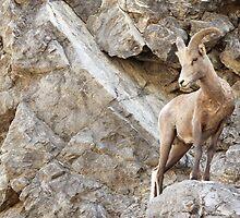 Juvenile Bighorn Sheep by Tracy Friesen
