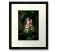 A little rose bud Framed Print