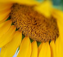 Sunflower Lines by StonedOgraphy