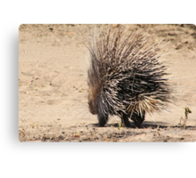 Porcupine and its Quills - African Wildlife Canvas Print