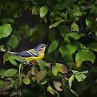 Magnolia Warbler by Christina Rollo
