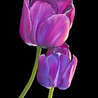 Plum Purple Tulips by Laura Bell