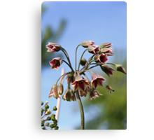 Allium siculum and bee Canvas Print