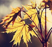 Acer platanoides (Norway maple) by Marta Jonina