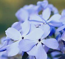 Phlox divaricata flowers by Marta Jonina