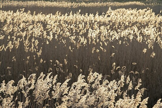 Norfolk Reeds by cleywindmill