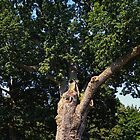 Great Salem Oak Tree by Sharon Woerner