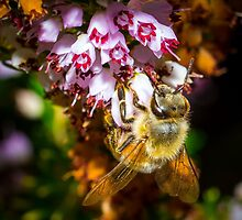 Honey Bee by RandyHume