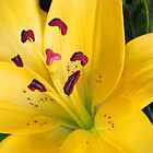 Yellow Lily by Cindy Hitch