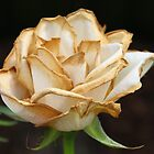 Wilting Rose with a Hint of Gold by AnnDixon