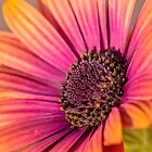 African Daisy by Allport Photography