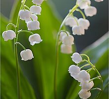 Lily of the Valley by Jane Dibnah