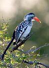 Red Billed Hornbill by Michael  Moss
