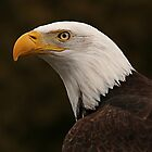 bald eagle by Manon Boily