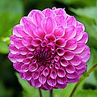 Pink Dahlia by Martha Sherman