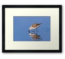Foraging Sanderling on the Beach Framed Print