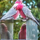 Pink and Grey Galahs by Paul Amyes
