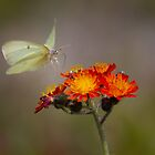 Sulphur Butterfly on Hawkweed by Jim Cumming