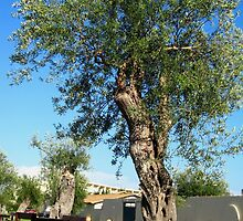 Old olive trees by Newstyle