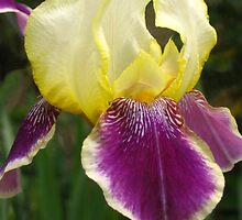 Lovely iris by Newstyle