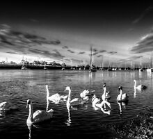Summer evening swans by DavidHornchurch