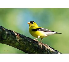 Blue Heart Goldfinch Photographic Print