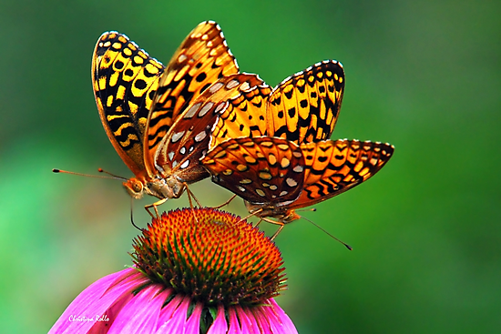 Butterfly Twins by Christina Rollo
