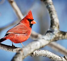 Northern Cardinal Scarlet Blaze by Christina Rollo