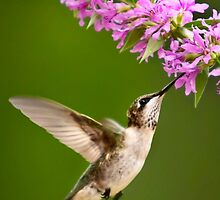 Touched Hummingbird by Christina Rollo