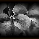 Dark Geranium Flowers by kkphoto1