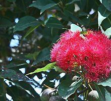 Red flowering gum by Maggie Hegarty