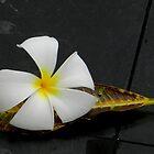 Frangipani on leaf by Sandra  Sengstock-Miller