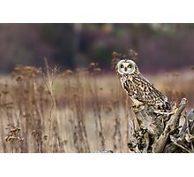 Short-eared Owl on a Stump Photographic Print