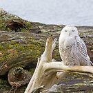 Snowy Owl Squint by Tom Talbott