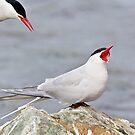 Incoming Alert! - Arctic Terns by Tom Talbott