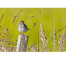 Savannah Sparrow on a Post Photographic Print